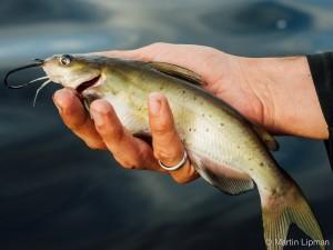 S4-4 catfish
