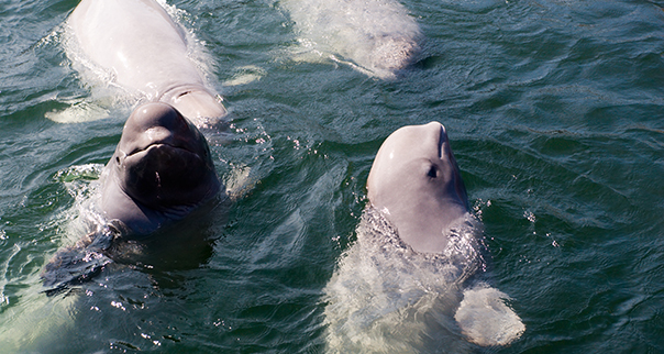 Group of Beluga Whales