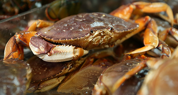 Live Dungeness crabs for sale at a Seattle market.