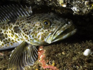 A juvenile Lingcod photographed at a depth of 85 feet in the cold waters of southern British Columbia.