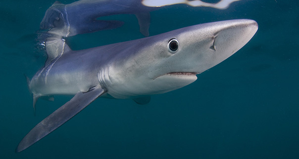 Blue shark portrait