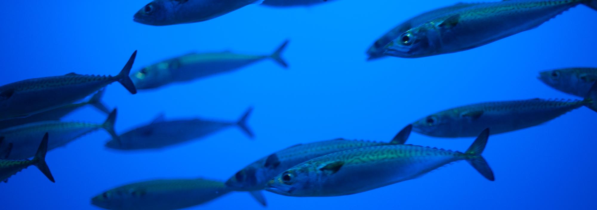 A school of Atlantic Mackerel swimming
